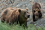 A Brown bear sow and her cubs along the marsh at the McNeil River State Game Sanctuary on the Kenai Peninsula, Alaska. The remote site is accessed only with a special permit and is the world's largest seasonal population of brown bears in their natural environment.