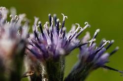 Alpenschaarde, Saussurea alpina