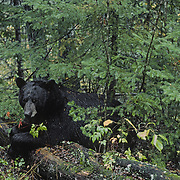 A male black bear (Ursus americanus) rests on a moss-covered log in a rain-soaked forest during early fall in Minnesota.