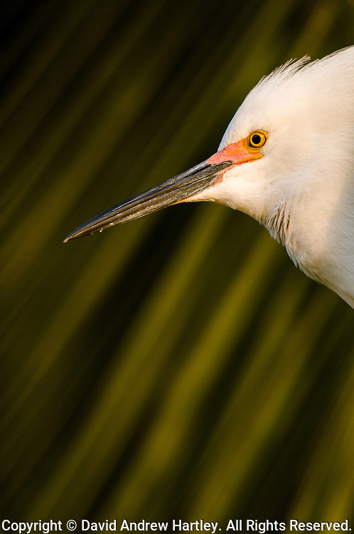 A Snowy Egret  (Egretta thula) in high breeding plumage keeps a watchful eye in a Palm tree during early sunrise, Palo Alto, California