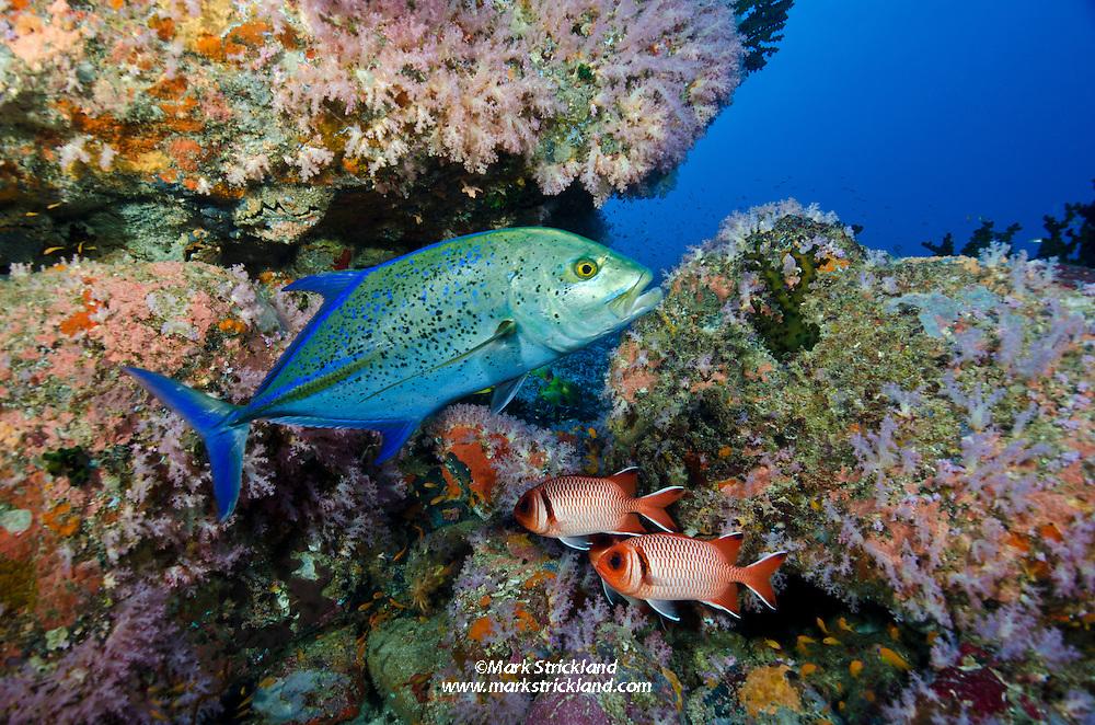 A Bluefin Trevally, Caranx melampygus, patrols past a pair of Splendid Soldierfish, Myripristis botche, amdist rocky terrain covered by small soft corals. Fish Rock, Andaman Islands, India, Andaman Sea
