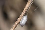 Cocoon of parasitic wasp (Phobocampe sp.?) spun next to corpse of white admiral (Limenitis camilla) butterfly larva. Sussex, UK.