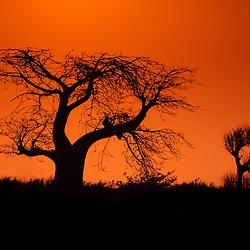 Silueta de imbondeiro ao pôr do sol no Mussulo. Província de Luanda, Angola