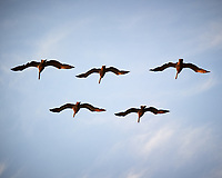 Brown Pelicans. Image taken with a Nikon D3s camera and 70-300 mm VR lens.