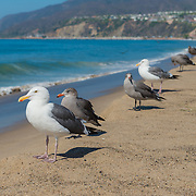 Seagulls on California beach