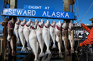 Today's catch on display in the Seward harbor, Alaska, USA<br /> <br /> Photographer: Christina Sjögren<br /> <br /> Copyright 2019, All Rights Reserved