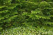 Bunchberries (Cornus canadensis) in the Laurentian Mountains<br /> , Parc national des Laurentides, Quebec, Canada