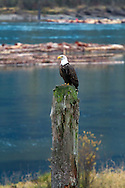 A Bald Eagle (Haliaeetus leucocephalus) perched along the Harrison River during the Fraser Valley Bald Eagle Festival in British Columbia, Canada