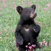 Black Bear, (Ursus americanus) Cub in field of Shooting Star flowers. Spring. Montana.  Captive Animal.