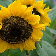 Sun flowers in rain