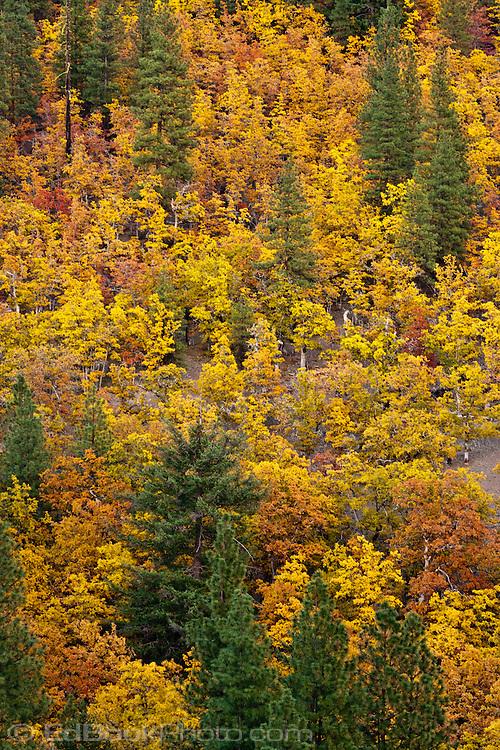 Autumn colored Garry Oak, (Quercus garryana) and Ponderosa Pine (Pinus ponderosa) grow on the side of Klickitat Canyon near Glenwood, Klickitat County, WA, USA