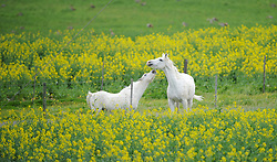 South Africa - Cape Town - 4 August 2020 - Horses playing along a section of Potsdam road near Dunoon with fields of bright yellow canola in bloom. Most of South Africa's canola is produced in the Western Cape. Canola pods are primarily used to make canola oil or blended with other edible oils. Picture: Henk Kruger/African News Agency (ANA)