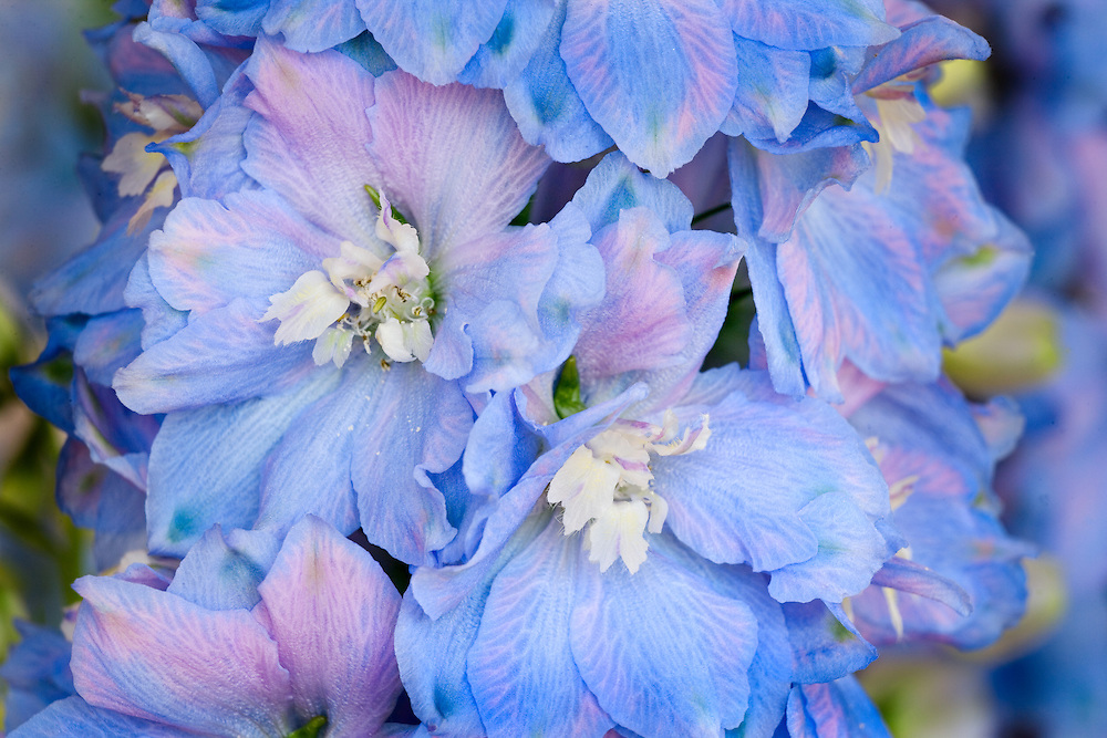 Close Up of Blooming Delphenium Plant