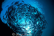 bigeye jacks or trevally, <br /> Caranx sexfasciatus, in daytime <br /> resting or refuging formation, <br /> Sipadan Island, off Borneo, Sabah, <br /> Malaysia ( Celebes Sea )