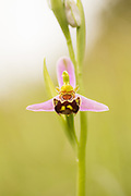 Bee orchid (Ophrys apifera). Surrey, UK.