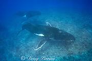 humpback whales, Megaptera novaeangliae, in competitive group or heat run, swim over coral reef, Vava'u, Kingdom of Tonga, South Pacific