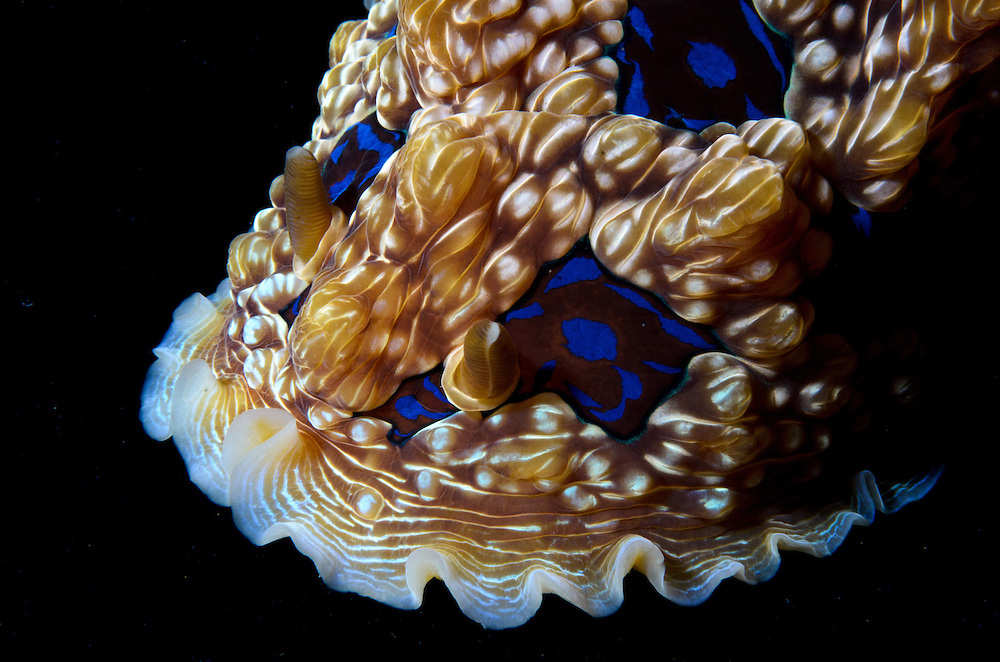 Gem nudibranch, Dendrodoris dennisoni