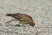 Chimango caracara, Milvago chimango, feeding on gravel path, Ushuaia, Argentina, South America