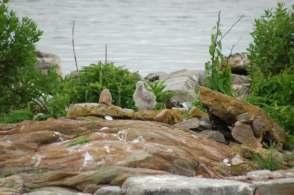 A very young seagull chick with its grey down feathers on one of the Thimble Islands in Long Island Sound at Stone Creek, CT