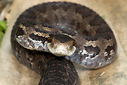 Godman's Pit Viper Snake, Cerrophidion godmani, venomous pitviper species found in Mexico and Central America, portrait