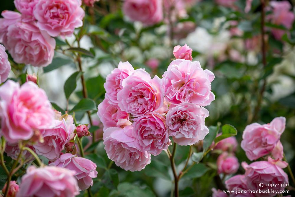 Rosa 'Felicia' AGM
