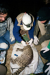 Attaching Radio Collar On Geoffroy's Cat
