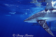 Galapagos shark, Carcharhinus galapagensis, with a shark bite scar (probably a mating scar ), North Shore, Oahu, Hawaii, USA ( Central Pacific Ocean )