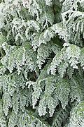Winter scene hoar frost on fir tree in The Cotswolds, UK
