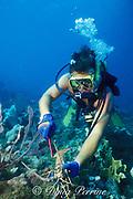 diver gauges a spiny lobster, Panulirus argus, to check if it is legal size, Key West, Florida Keys ( Western Atlantic Ocean ) Florida Keys National Marine Sanctuary