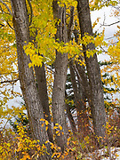 Fall colors of Black Cottonwoods, Populus balsamifera, along the northwest shore of Saint Mary Lake, Glacier National Park, Montana.