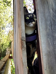Zelda the cat looks for a route of her back yard in Oakland, Calif., Friday, April 3, 2020. (Photo by D. Ross Cameron)