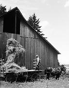 9969-2476. Storing hay in the barn. Rupert Nash. June 27, 1936. Stanley Rogers Farm, near Aurora, Oregon