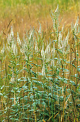 Veronicastrum virginicum in the prairie meadow at Great Dixter. Culver's root