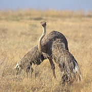 Ostrich, (Struthio camelus) Female cooling off in heat. Kenya. Africa.