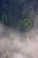 Steam clouds above old spruce (Picea abies) and larch (Larix decidua) forest in the morning. High Tatras, Slovakia. June 2009. Mission: Ticha