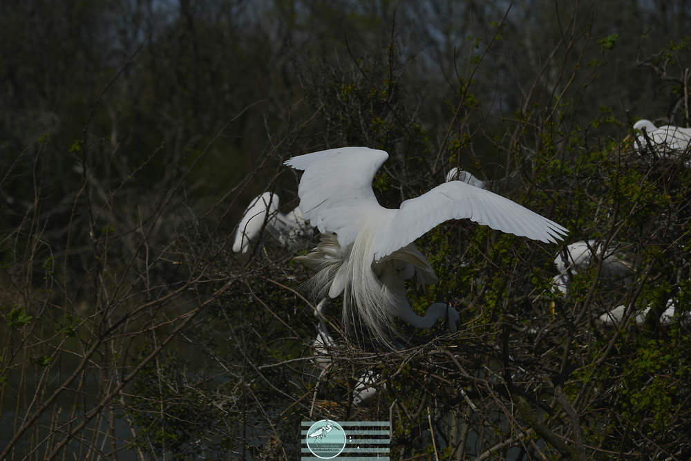 Nesting water birds at the rookery in High Island, Texas USA. Many coastal species including the Great White Egret, Roseatte Spoonbill, Comorant and Herons.