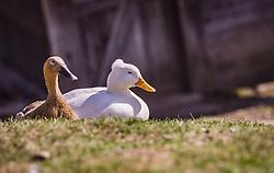 THEMENBILD - ein Entenpaar sitz auf einer Wiese, aufgenommen am 07. März 2019 in Aurach, Oesterreich // a pair of ducks sitting in a meadow, Austria on 2019/03/07. EXPA Pictures © 2019, PhotoCredit: EXPA/Stefanie Oberhauser