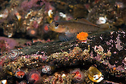 A Blackeyed Goby, Rhinogobiops nicholsii, rests on rocks near Port Hardy, Vancouver Island, British Columbia, Canada