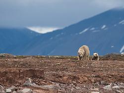 Polar bear (Ursus maritimus) mother and cub ice in Svalbard, Norway