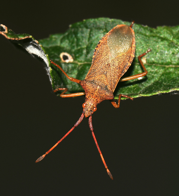Box Bug - Gonocerus acuteangulatus