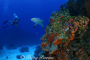 diver and Caribbean reef shark, Carcharinus perezi, on coral reef with orange elephant ear sponges, Agelas clathrodes, Bahamas ( Western Atlantic Ocean )