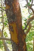 Tree bark on Pine Ridge Trail, Big Sur, California.