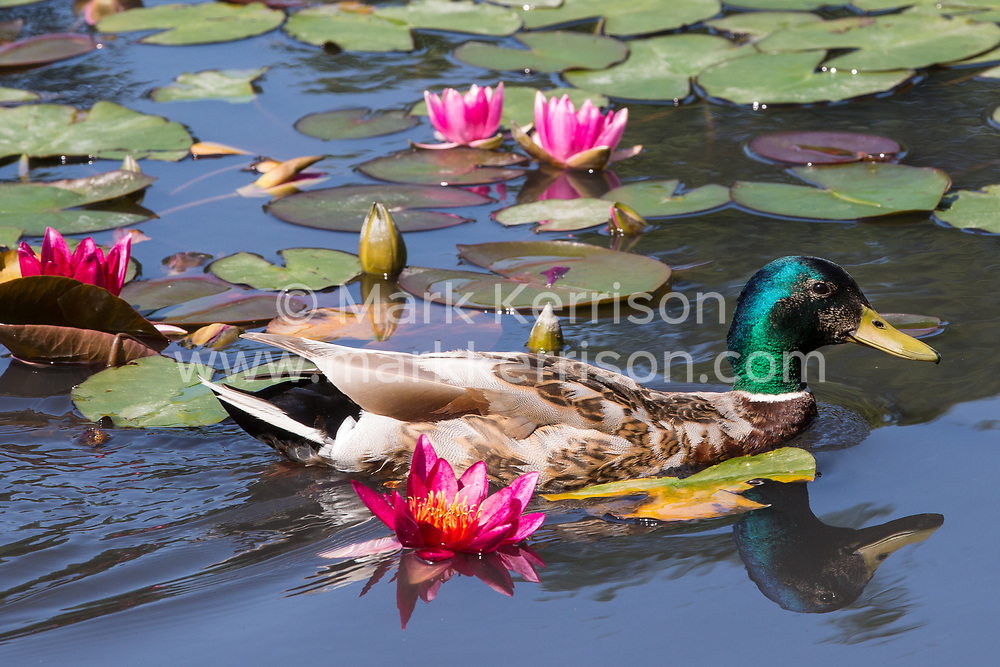 Englefield Green, UK. 27 June, 2019. A male mallard duck navigates around flowering water lilies in the Cow Pond, an ornamental lake in Windsor Great Park, on a warm, sunny June day. Temperatures are expected to rise in the south of England before the weekend as the heatwave intensifies still further in much of mainland Europe. The Cow Pond was renovated in 2012 to commemorate the Queen's Diamond Jubilee.