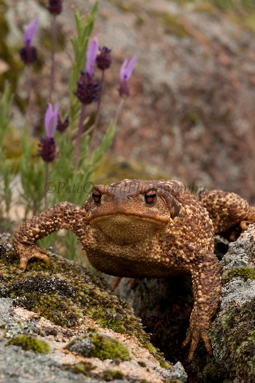 Common Toad (Bufo bufo)<br /> Sierra de Andújar Natural Park, Mediterranean woodland of Sierra Morena, north east Jaén Province, Andalusia. SPAIN<br /> RANGE: Most of Europe except Ireland, Corsica, Sardinia, the Balearics, Malta and Crete. Also found in NW Africa and across Palaerctic Asia to Japan<br /> <br /> Mission: Iberian Lynx, May 2009<br /> © Pete Oxford / Wild Wonders of Europe<br /> Zaldumbide #506 y Toledo<br /> La Floresta, Quito. ECUADOR<br /> South America<br /> Tel: 593-2-2226958<br /> e-mail: pete@peteoxford.com<br /> www.peteoxford.com