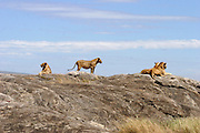 Africa, Tanzania, Serengeti National Park, a pride of Lions Panthera leo sitting on a rock face