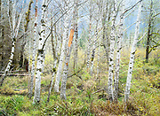 Red Alder grove in wetland, North Cascades, Washington