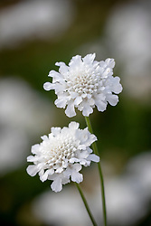 Scabiosa columbaria 'Flutter Pure White' - Scabious, Pincushion flower