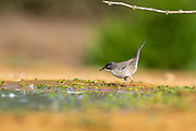 Male Sardinian Warbler, AKA Black Headed Warbler (Curruca melanocephala syn Sylvia melanocephala), is a common and widespread typical warbler from the Mediterranean region Photographed at the Ein Afek nature reserve, Israel in November