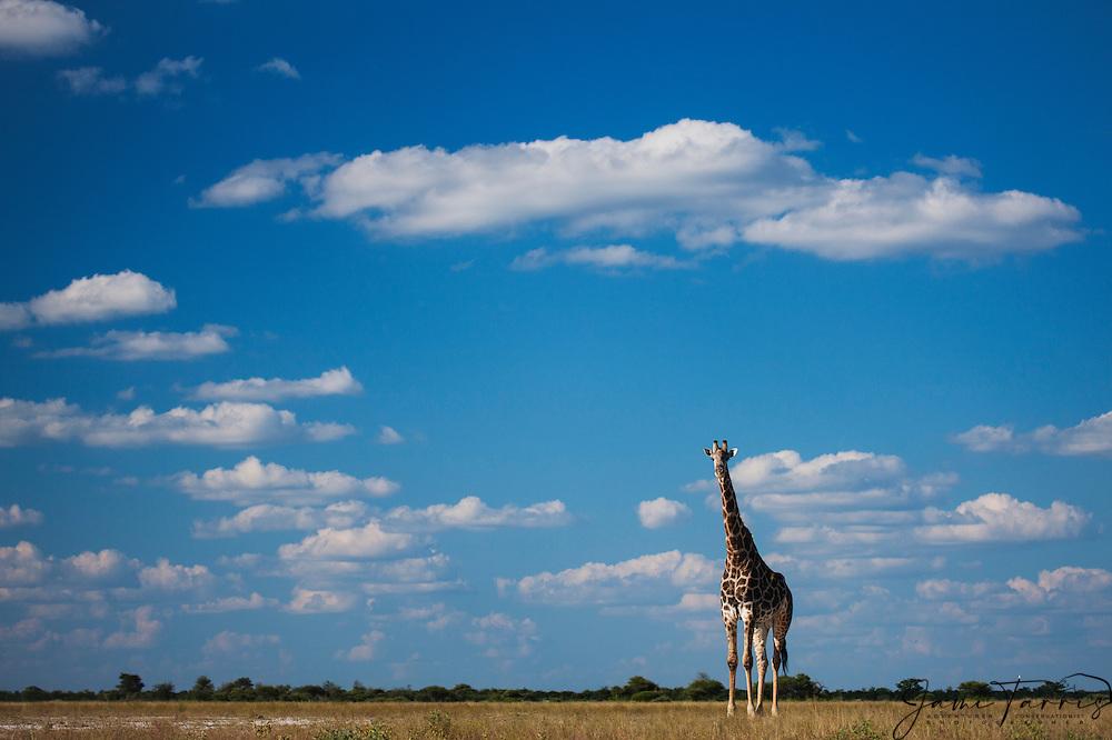 Southern giraffe (giraffa camelopardalis) walking beneath a cloudy Kalahari sky in the wet season, Kalahari, Botswana, Africa