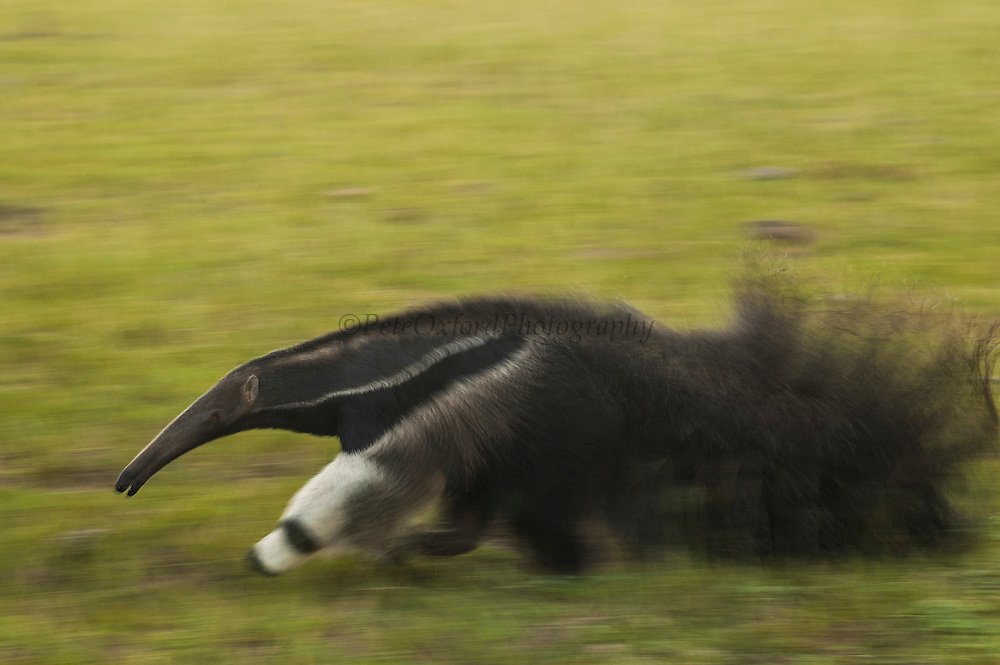 Giant anteater (Myrmecophaga tridactyla)<br /> PHOTOGRAPHED IN: Central Pantanal. Mato Grosso do Sul Province. BRAZIL.  South America.<br /> RANGE: Central America, South America E of Andes to Uruguay and nw Argentina. Found in grasslands, swamps and lowland tropical forests. Density depends of food availability.  They are members of the Xenarthra (edentulous/toothless) order together with sloths and armadillos but are the only toothless members of the Order. They eat mainly ants and termites which are found by smell, then digging into the ground and inserting their sticky tongues into the nest. They feed for short periods at each nest, taking a very small percentage of usually worker ants which does not cause damage to the nest. Their tongues can extend up to 61cm / 12 inches and are coated with a thick saliva. It can move as rapidly as 150 times per minute licking up ants. Their stomachs do not secrete hydrochloric acid but depend instead on the formic acid content of the ants they eat to assist with digestion. They consume as much as 35,000 ants per day. They are usually active at dawn and dusk and spend up to 15 hours a day resting. They make shallow depressions in which to lay down and cover themselves with their tails to remain camourflaged. Giant anteaters have the lowest recorded body temperature of any placental mammal, 32,7 degrees C. 90.9 degrees F. A single young is born in the spring and is immediately able to use its claws to climb up onto the mothers back where it is carried around for several months.